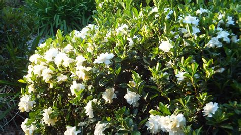 evergreen shrubs with white flowers coffs harbour garden club plants for recycled water systems