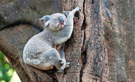 koala schlaf schlaft wohl ihr lieben gl 252 ckspost