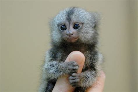 funny pictures gallery small monkeys small monkey types of small monkeys small pet monkeys