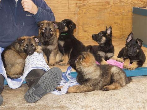 working golden retriever breeders uk working german shepherd breeders uk dogs in our