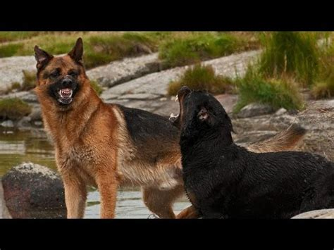 german shepherd vs rottweiler rottweiler vs belgian malinois mr friend funnydog tv