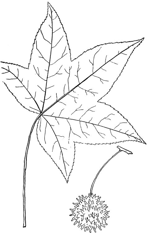 Genus Liquidamber, L. (Sweet Bum) | ClipArt ETC