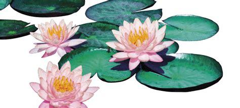 ninfea fiore la ninfea il fiore galleggiante decora i nostri