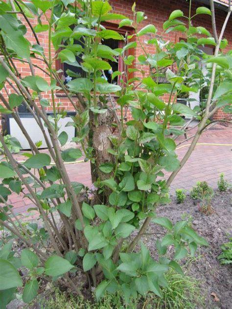 wann schneidet kirschlorbeer kirschlorbeer richtig pflanzen kirschlorbeer schneiden