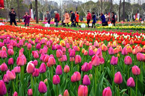 flowers bloom spring flowers bloom across china 1 chinadaily com cn