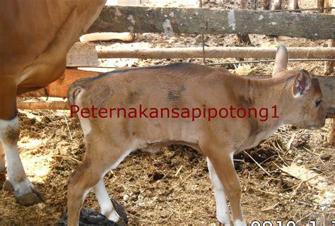 Jual Bibit Anak Sapi pembukaan sapi beranak safari ternak jual hewan qurban