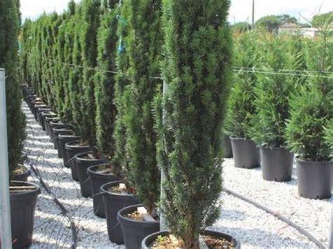 heckenpflanzen immergrün winterhart schnellwachsend 67 die eibe oder taxus baccata in bester qualit 228 t