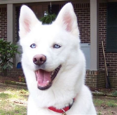 white husky puppy with blue 1000 images about white husky puppies on
