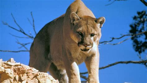 reset nvram mountain lion una madre salva a su hijo de 5 a 241 os de la boca de un puma