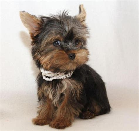 teacup mini yorkie miniature yorkies mini yorkie terrier r 252 de m 228 dchen welpen