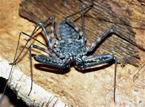 tanzanian whipscorpion, damon variegatus, giant tailless