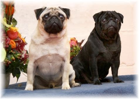 family of pugs tidemill pugs