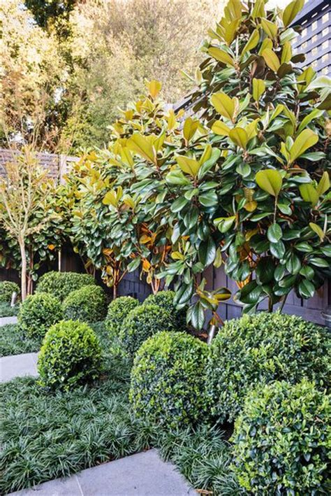 8 best images about michelias on pinterest trees shops and hedges