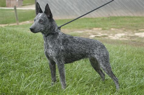 cattle dogs australian cattle puppies rescue pictures information temperament