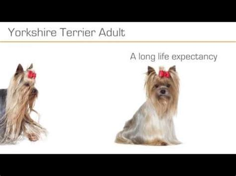 royal canin for yorkies royal canin terrier buy now at zooplus