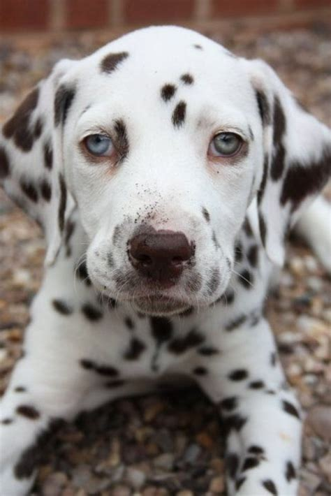 dalmatian puppy discover and save creative ideas