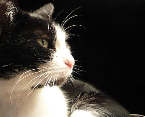 black and white cat file black and white cat named leafy zenera 03 jpg