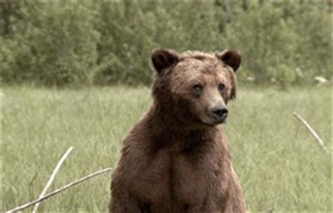 possible b.c. pipeline route crosses grizzly bear sanctuary