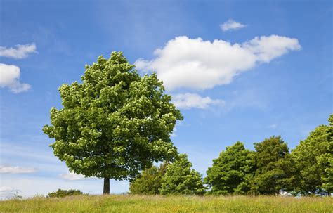 shade trees fast growing and full of benefits fast
