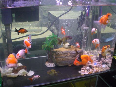 types of aquarium goldfish types for aquariums www proteckmachinery com