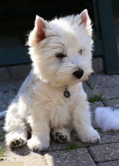 Small Home Friendly Dogs 1000 Ideas About Hypoallergenic Breed On
