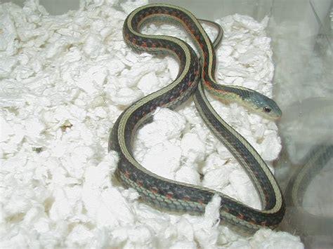 Garter Snake Va Felzer S Garter Snakes Specializing In Aberrant Garters