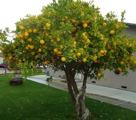 backyard lemon tree growing fruit trees in the backyard 2015 best auto reviews