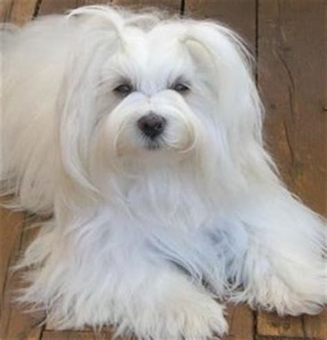 are havanese barkers havanese puppy pictures the havanese