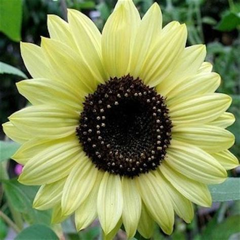 Benih Bibit Seeds Flower Lemon Sunflower Bunga Matahari Muda 16 best lemon sunflower images on