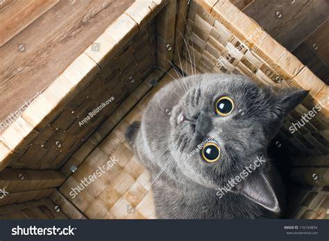 Grey Cat British Breed Large Yellow Stock Photo 116104834