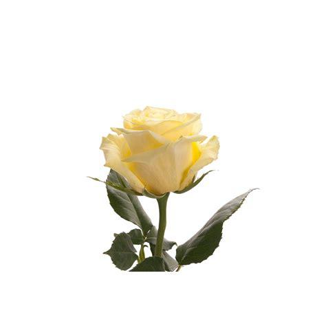 lemon green rose totem green roses flower muse
