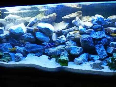 malawi aquarium xx pseudotropheus elongatus