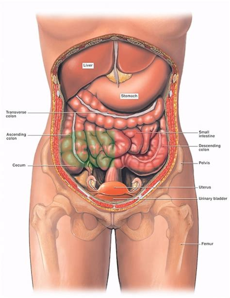 diagram of abdominal organs diagram of abdominal organs anatomy organ