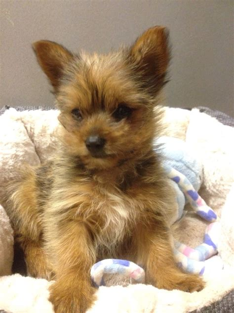 pomeranian cross yorkie pomeranian cross yorkie south east pets4homes