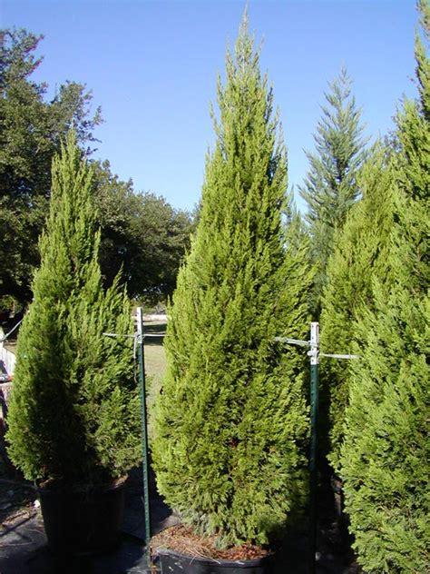 juniper tree picture images
