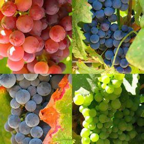 uvas silvestres imagenes en espa 241 a se cultivan m 225 s de 140 uvas aut 243 ctonas y m 225 s de