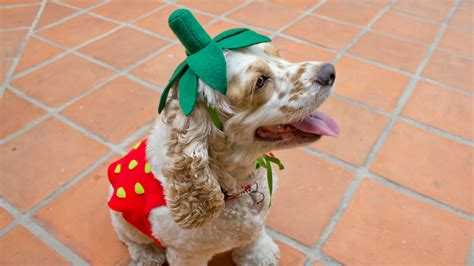 strawberries and dogs strawberry costume professor pincushion
