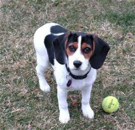black and white beagle puppies white beagles lemon drop beagles
