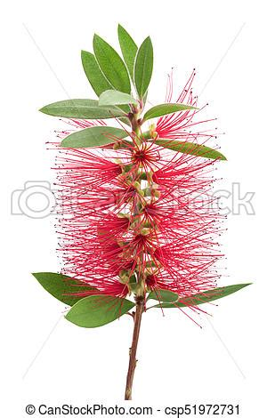 Bottle Brush Plant Pictures