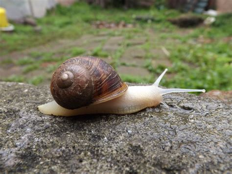 terrestrial snail pictures about animals free images grass invertebrate molluscs slug