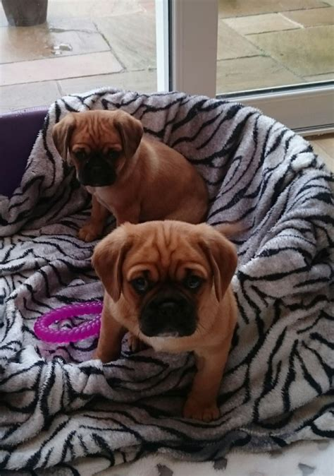 cavalier x pug beautiful cavalier x pug puppies for sale uttoxeter staffordshire pets4homes