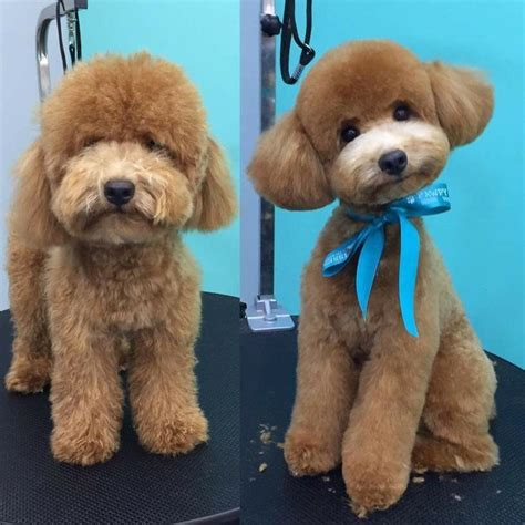 cockapoo haircuts before and after image result for cockapoo grooming before and after