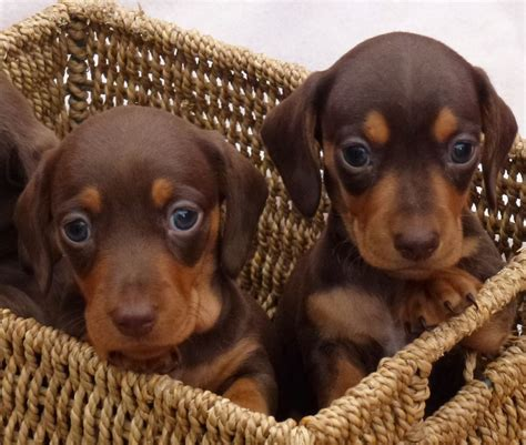 dachshund puppies for sale chocolate and miniature dachshund puppies nelson