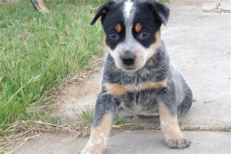 australian cattle dogs for sale australian cattle dogs for sale in breeds picture