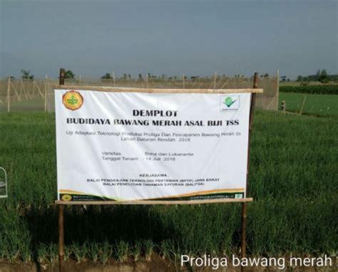 proliga bawang merah asal biji memberi harapan  petani