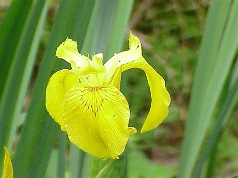 fiori dalle grandi corolle iris