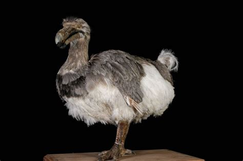 dodo reproduction raphus cucullatus masai gallery