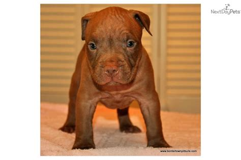 Blue Nose Pits For Sale In Michigan Pitbull Puppies Michigan Pitbulls For Sale Breeds