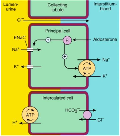 week 4 spencer block 9 endocrine, repro, renal with