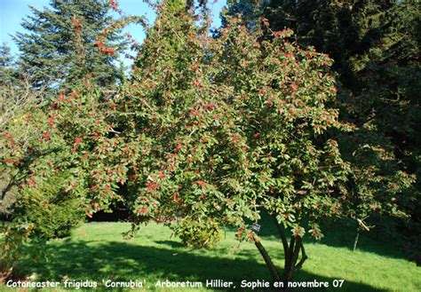 Arch L A B cotoneaster frigidus cornubia